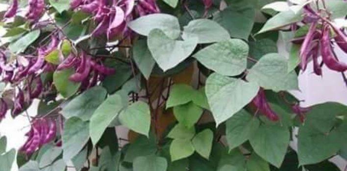সীতাকুণ্ডে শিমের ব্যাপক উৎপাদন।
